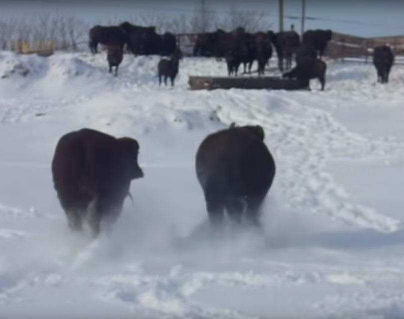 Bivoli în zăpadă Canada