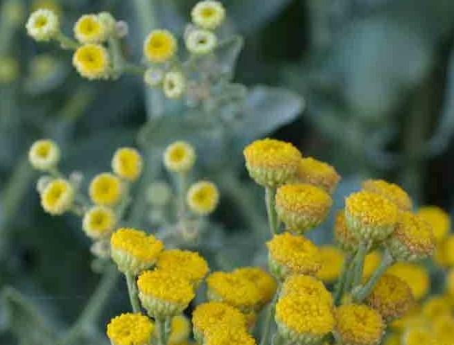 Inflorescenţe de calomfir