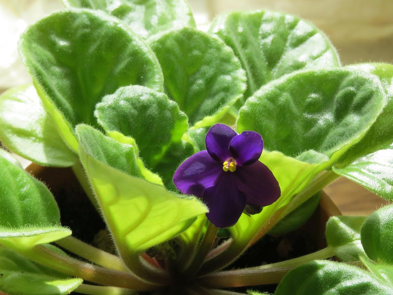 african-violet-290097_1280